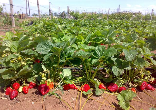 Плодоносящие кусты клубники Роксана