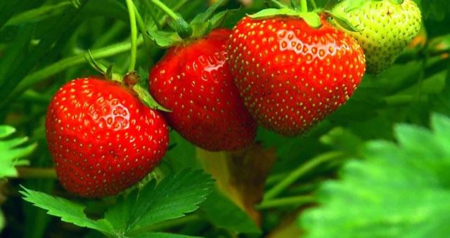 Крупные плоды клубники Берегиня