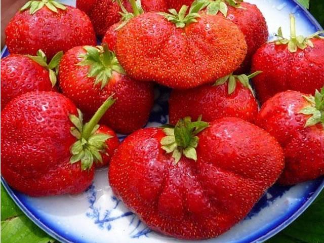 Крупные плоды клубники Богота