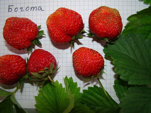 Плоды клубники сорт Богота