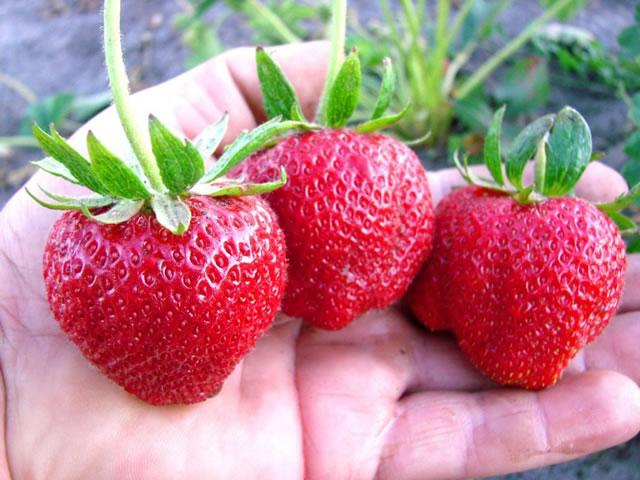 Крупные ягоды клубники Дарселект на ладони