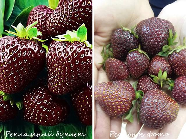 Фото ягод Черного принца с грядки и на рекламном проспекте