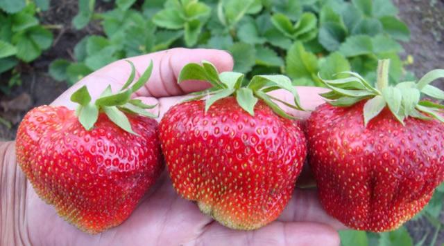 Крупные плоды клубники Чамора Туруси