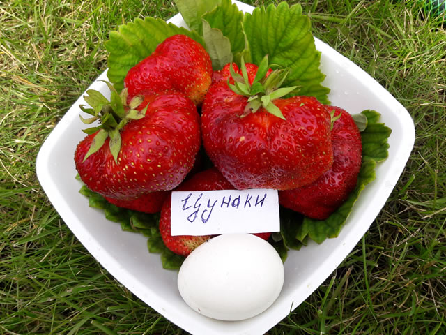 Крупные ягоды сорта Цунаки