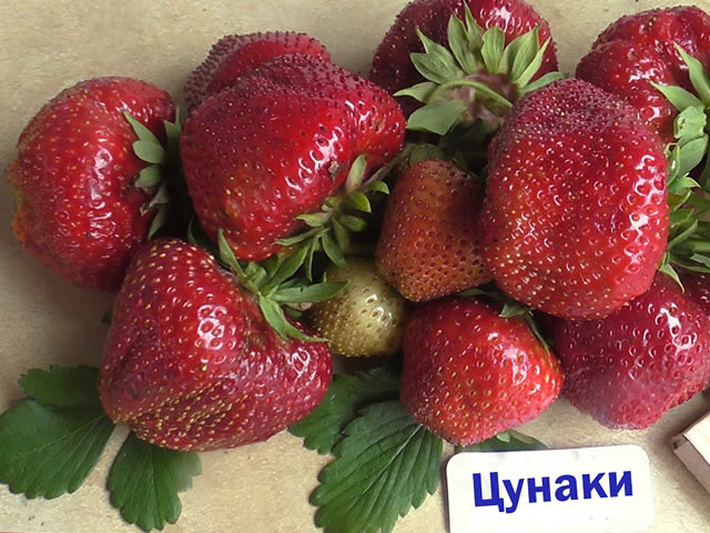 Плоды клубники сорт Цунаки
