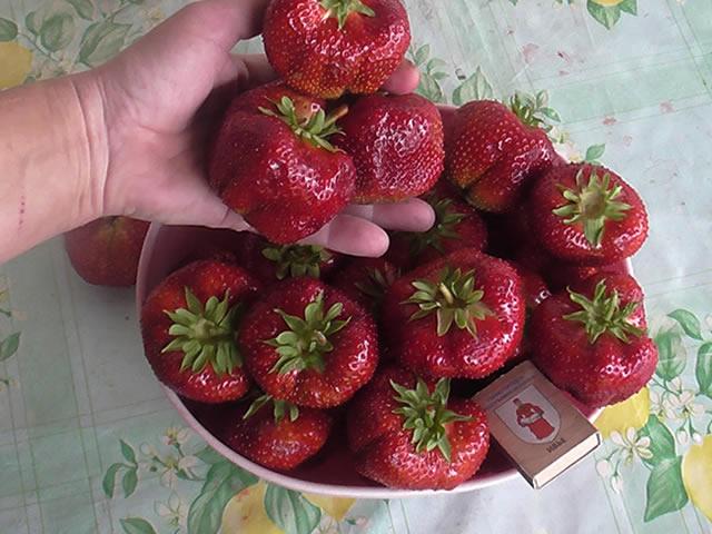 Крупные плоды японской ягоды Цунаки