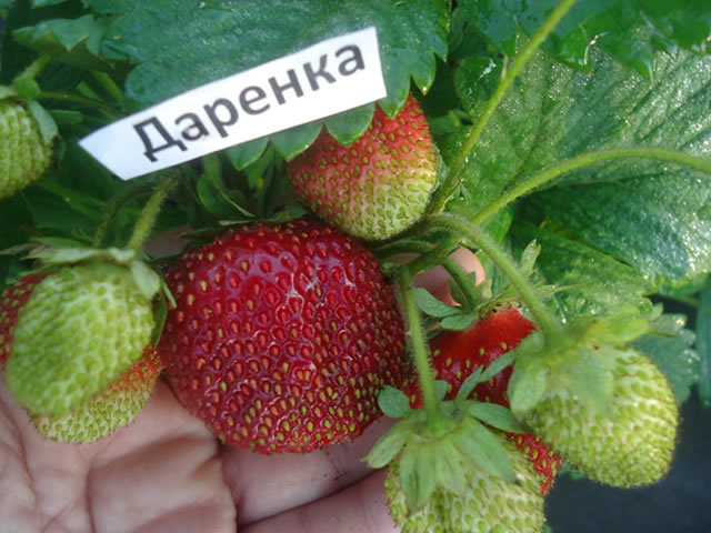 Ягоды садовой земляники Даренка крупным планом