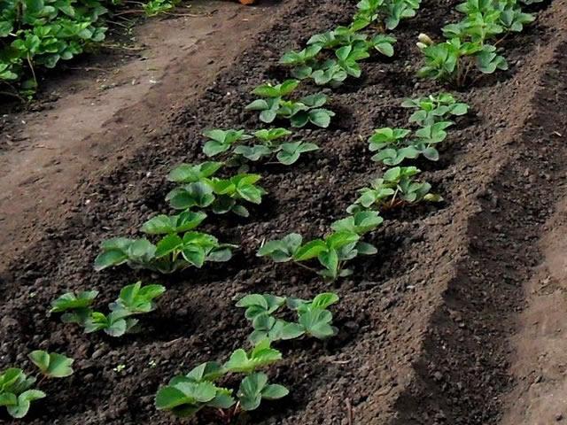 Посадка садовой земляники сорт Галя Чив