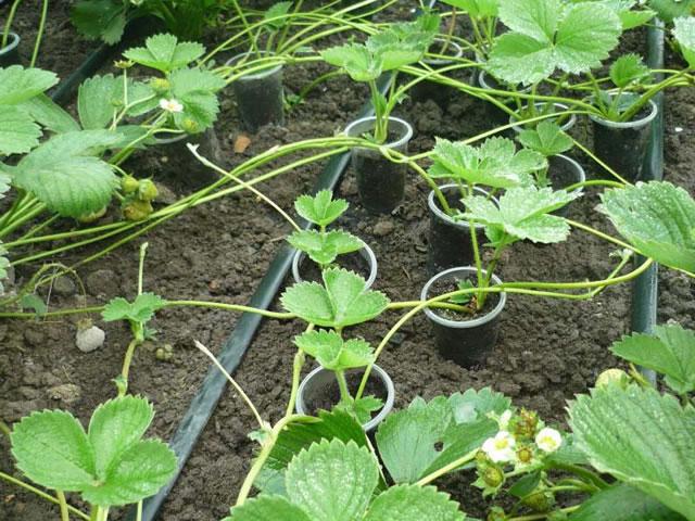 Размножение садовой земляники усами