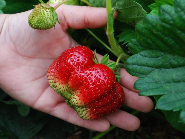 Крупная ягода клубники Максим
