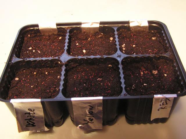 Семена клубники начинают всходить