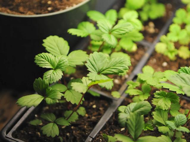 Молодые кустики клубники, полученные из семян
