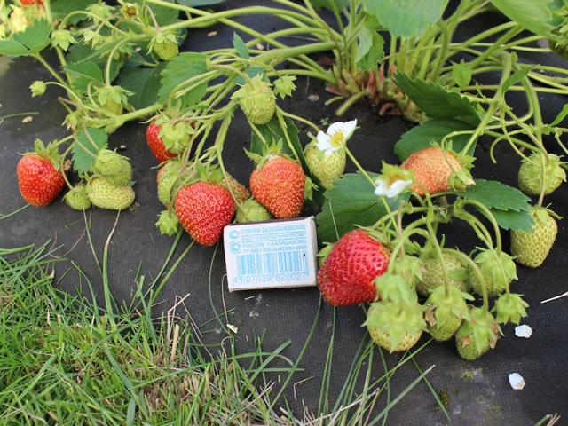 Плодоносящий куст садовой земляники Соловушка