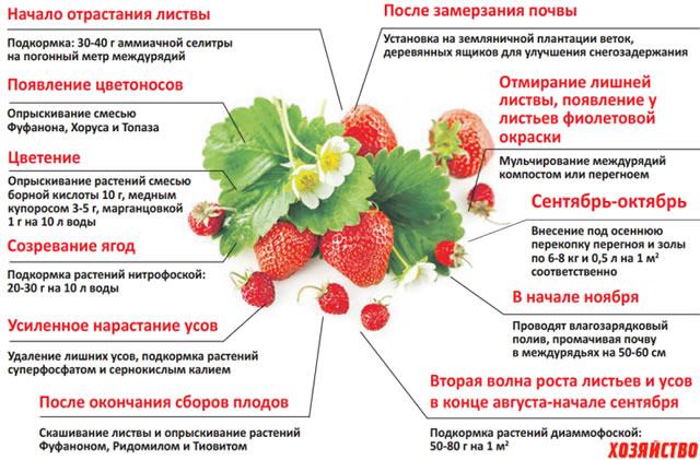 Схема подкормки клубники