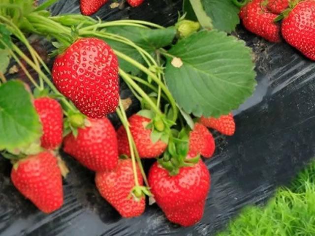 Крупные плоды садовой земляники Вима Рина