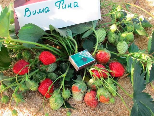 Плодоносящий куст садовой земляники Вима Рина