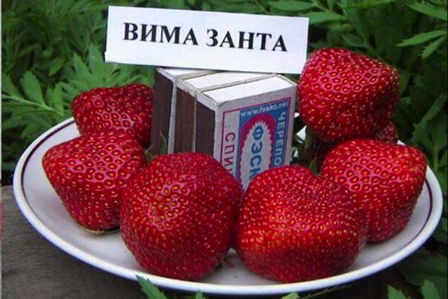 Крупные ягоды садовой земляники Вима Занта