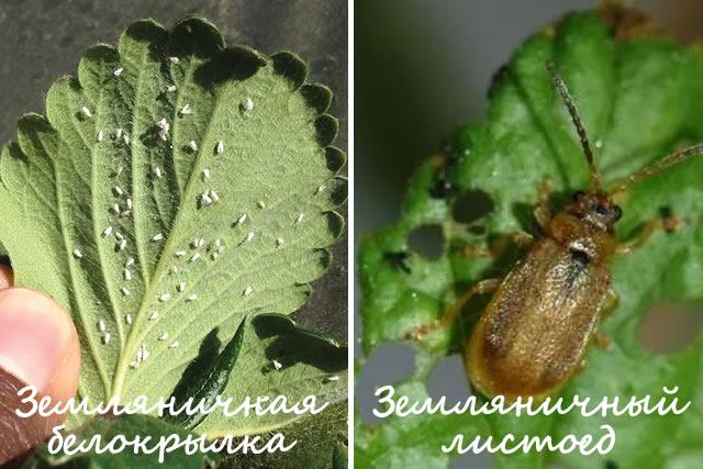 Борьба с земляничной белокрылкой и земляничным листоедом на клубнике Вима Занта