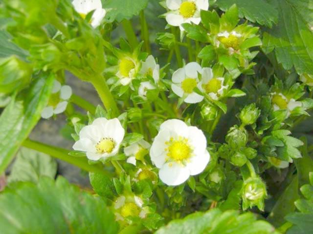 Цветущий куст клубники Вима Кимберли