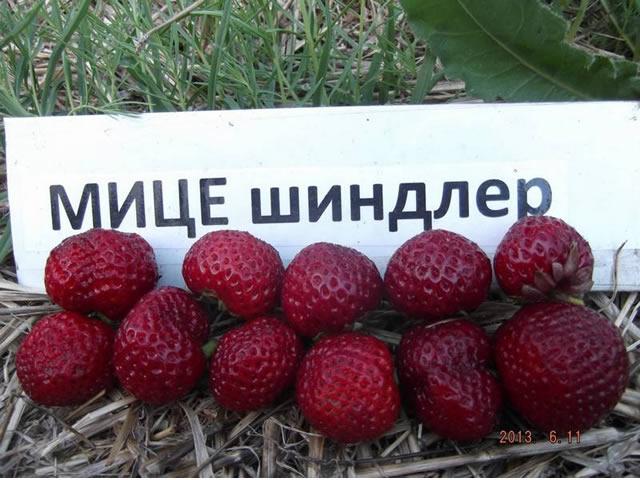 Ягоды садовой земляники Мице Шиндлер