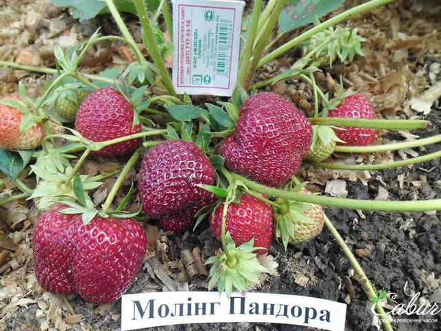 Плодоносящий куст клубники Моллинг Пандора