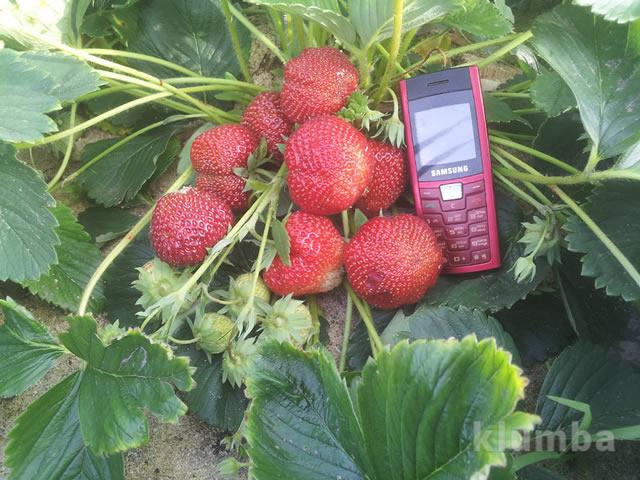 Ягоды Моллинг Пандора на фоне мобильного телефона