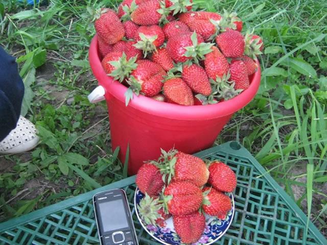 Урожай садовой земляники Фестивальная
