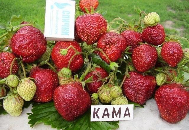 Урожай клубники Кама