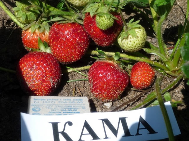 Плодоносящий куст клубники Кама