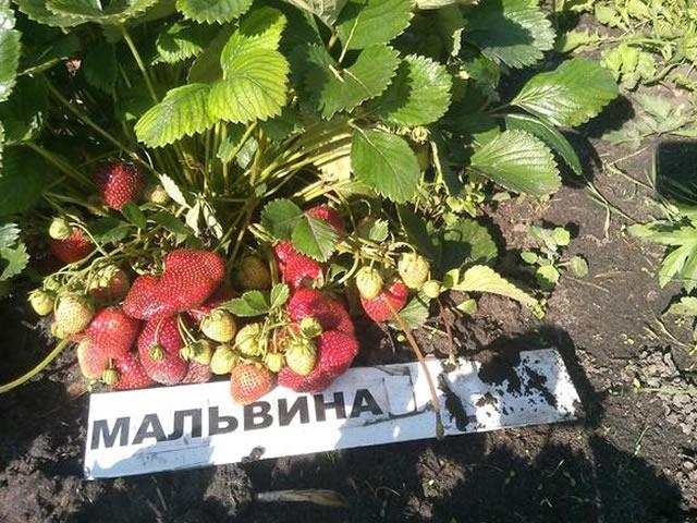 Урожайный сорт клубники Мальвина