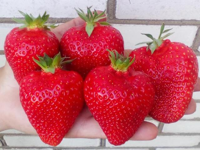 Крупные плоды клубники Мармелада