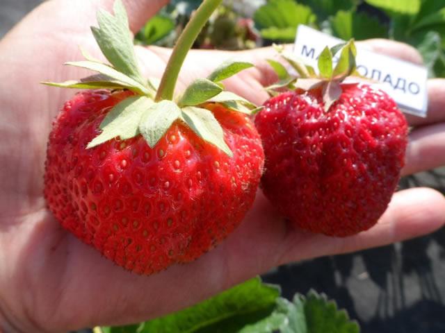 Крупные ягоды клубники Мармелада