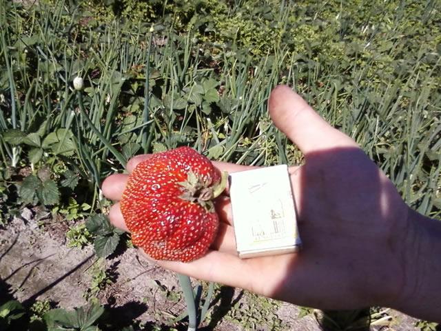 Крупный плод клубники Машенька крупным планом