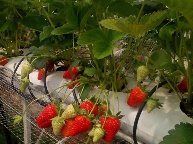 Клубника Мурано выращивание в теплице