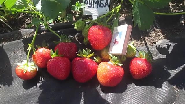 Плодоношение клубники Румба