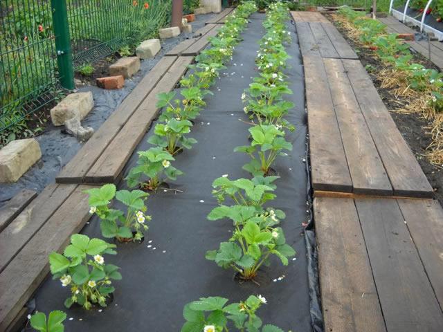 Выращивание клубники на черном агроволокне