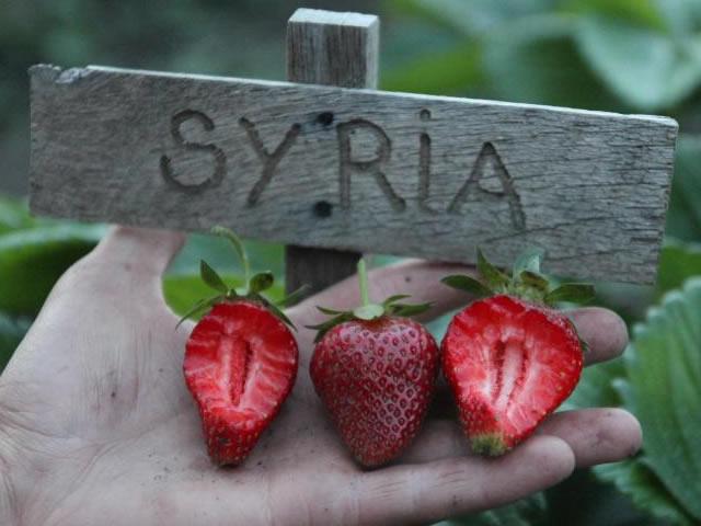 Ягоды клубники Сирия в разрезе