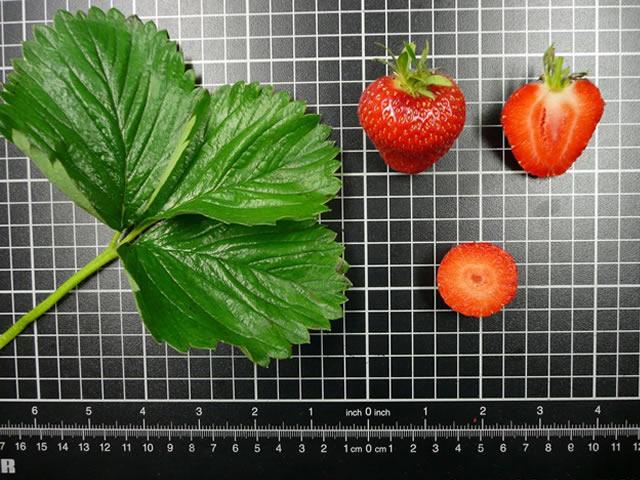 Плод клубники Соната в разрезе