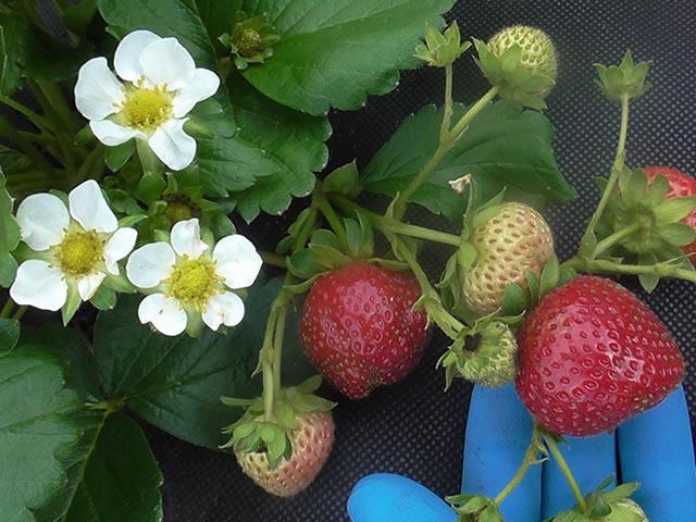 Цветки и ягоды клубники Эви 2