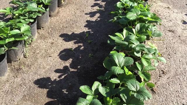 Саженцы садовой земляники Фурор
