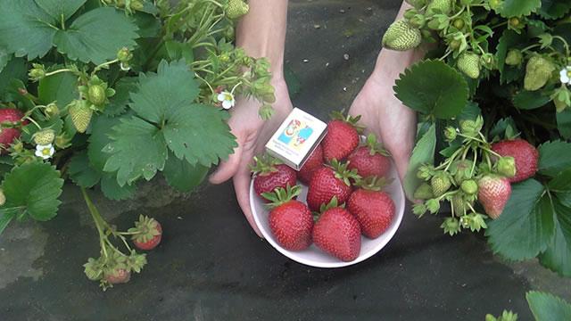 Кусты и ягоды клубники сорт Фурор