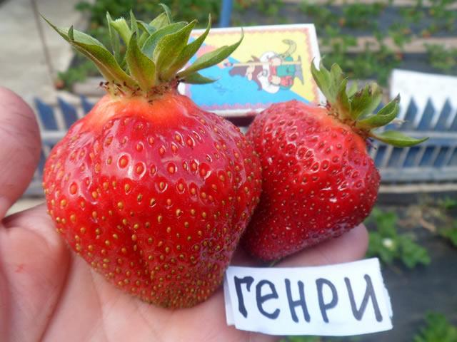 Крупные плоды клубники Генри