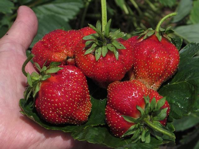 ягоды позднеспелой клубники Генри