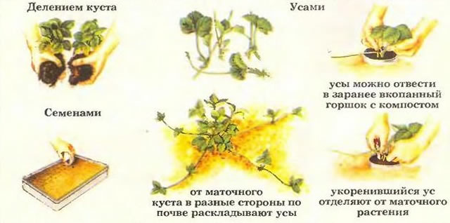 Способы размножения клубники