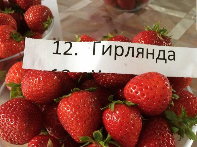 Урожай клубники сорт Гирлянда