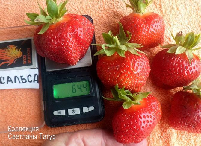 Крупные ягоды клубники Сальса на весах