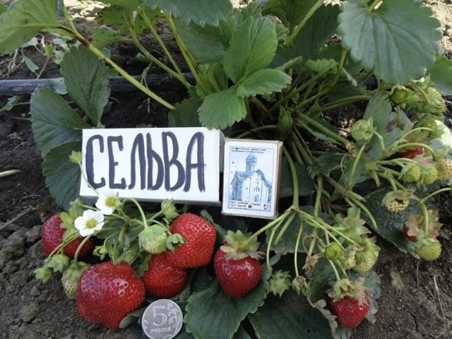 Плодоносящий куст клубники Сельва