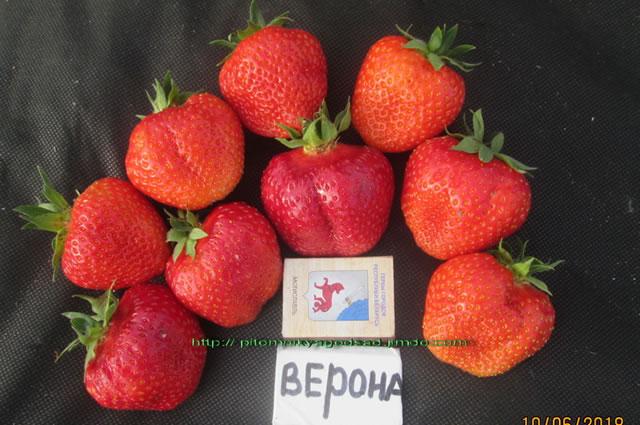 Крупные плоды садовой земляники Верона