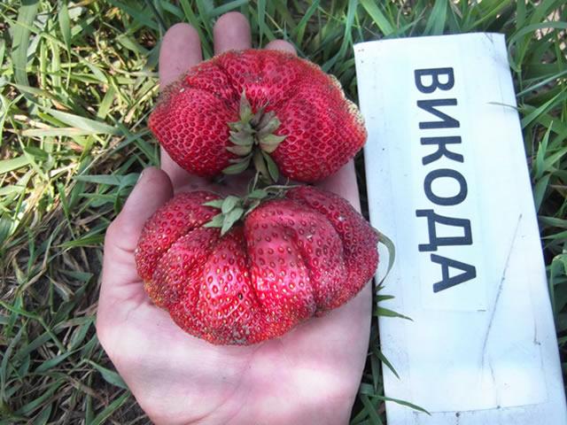 Крупные ягоды клубники Викода
