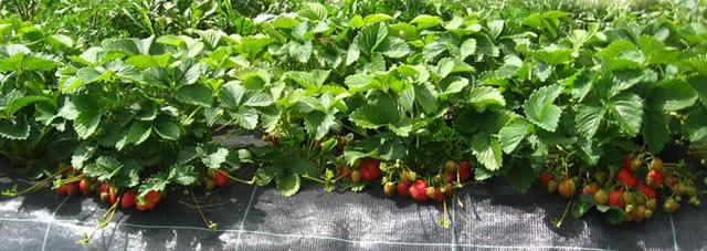 Плодоносящие кусты клубники Викода на агроволокне